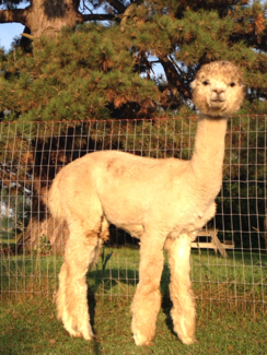 Light Sabre's Leonardo<br /> Stud fee = $500 (limited to 3/year)<br /> 15 micron fleece at 30 months!<br /> Will improve any fleece<br /> Price + $7,500 1/2 interest