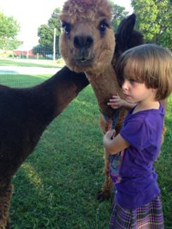Portrait of alpaca - Grace