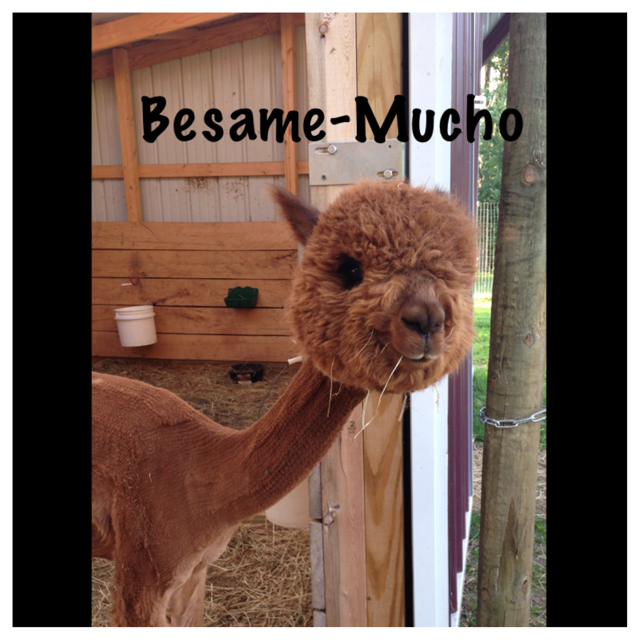 BESAME-MUCHO OF STRAWBERRY FIELDS<br /> Price = Check Openherd site